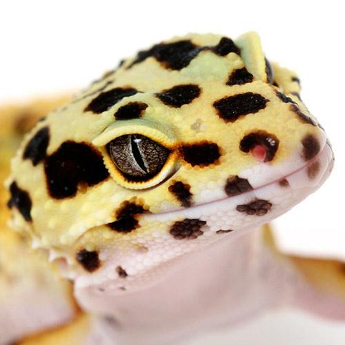 leopardgecko haltung
